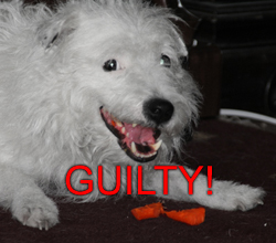 GUILTY! Dog caught eating CARROT.