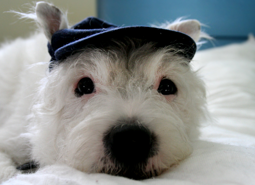 Dog wearing a hat